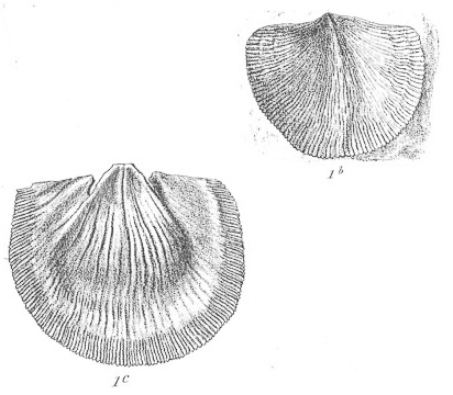 Brachiopod fossils illustration